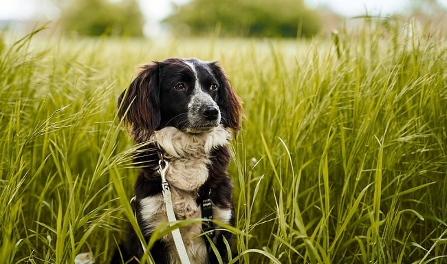 Why does a Dog Eats Grass?