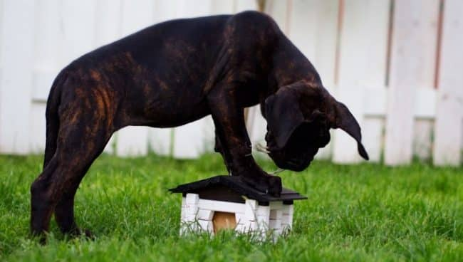 best junior food for cane corso